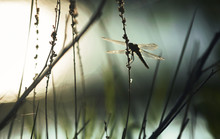 Dragonfly Resting In A Biotope