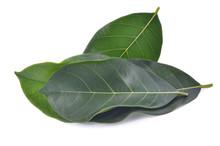 Jackfruit Green Leaved