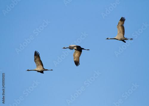 Demoiselle cranes (Anthropoides virgo) in flight, Kalmykia, Russia Canvas Print