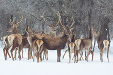 Red Deer Portrait On Snow And Forest In Winter Time