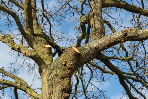 large overhanging branches have been cut by a tree surgeon, arborist, living the stumps where the branches were and rings can be seen in the wood.
