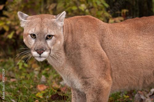 Poster Puma Adult Male Cougar (Puma concolor) Close Up Ears Back