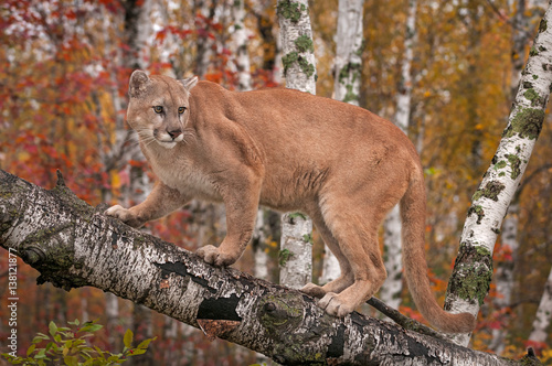 Spoed Fotobehang Puma Adult Male Cougar (Puma concolor) Looks Back From Branch