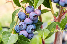 Detail Of Ripening Blueberries...
