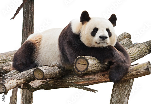 Panda isolated on white