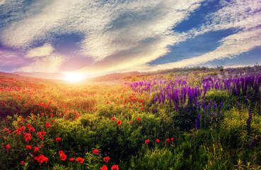 Fototapeta majestic sunset over the poppy field. colorful clouds in the sky. gloving in sunlight. beauty in the world. used as bacground