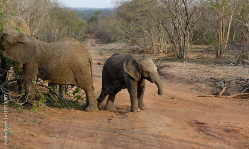 Aluminium Prints Elephant Baby elephant during a safari in the Savanna South Africa