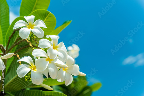 Foto auf AluDibond Plumeria White plumeria with blue sky background