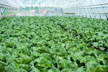 Organic Farming, Celery Cabbage Growing In Greenhouse.