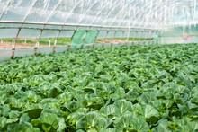 Organic Farming, Celery Cabbag...