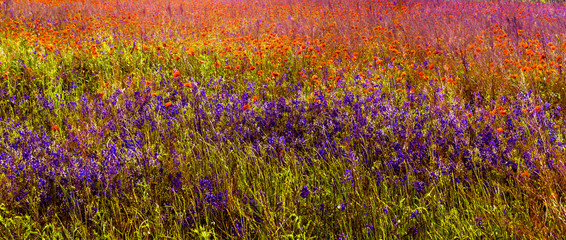 Panel Szklany Łąka red and blue meadow flowers at summer day. nature background