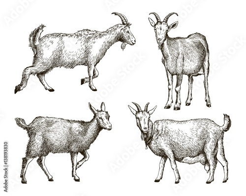 Photo sketch of goat drawn by hand. livestock. animal grazing