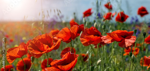 Fototapety, obrazy: poppy flowers in the field close up glowing in sunlight.  on the spring meadow. creative image. nature background. picturesque landscape