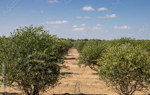 Fotografie, Obraz  Jojoba plant. Jojoba shrubs growing at farm