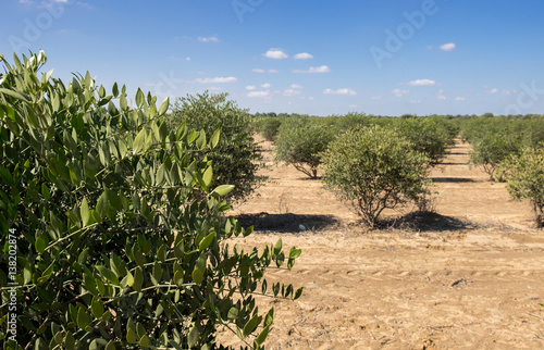 Jojoba plant. Jojoba shrubs growing at farm Canvas-taulu