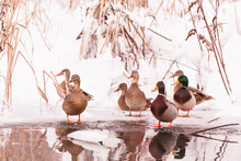 Wild Ducks On The Shore Of The Frozen Pond In The Snow (on Hoth Birds)