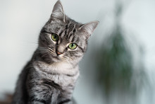 Beautiful American Shorthair Cat With Green Eyes