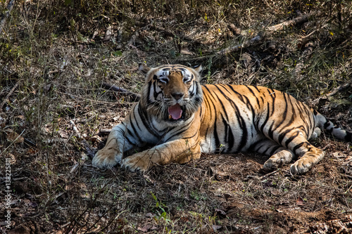 Photo  Impressive Bengal tiger resting in the forest, yawning, Kanha National Park, Ind