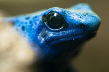 Blue Poison Dart Frog (Dendrobates Tinctorius Azureus). Head And Eyes Of Amphibian Aka Blue Poison Arrow Frog, Native To Suriname, In Family Dendrobatidae