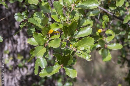 Pinturas sobre lienzo  Foliage of Gall Oak, Quercus faginea