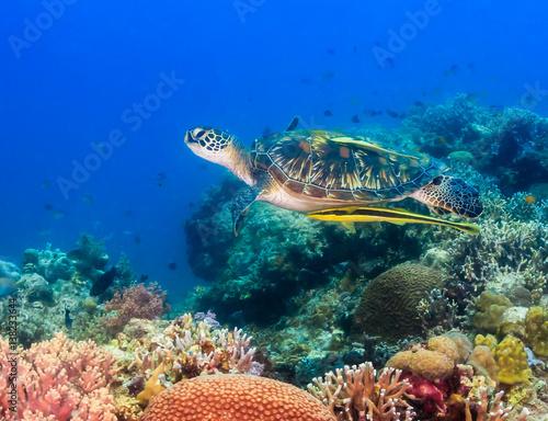 Fototapeta Hawksbill turtle swimming on a coral reef obraz na płótnie