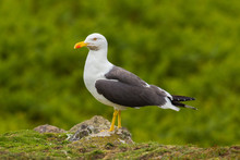 Seagull Standing Proud On Top Of A Rock
