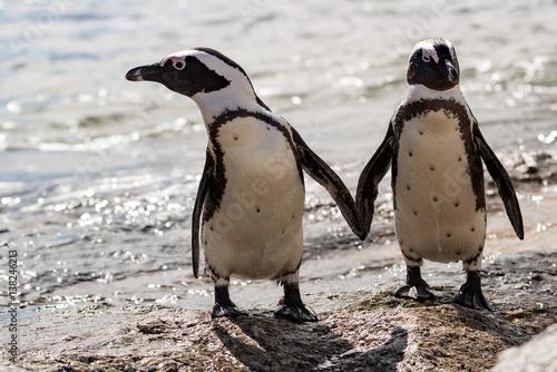 2 afrikanische Pinguine in Boulders Beach