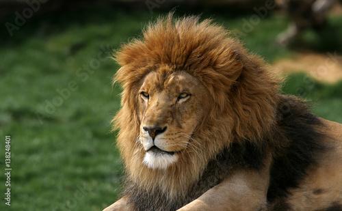 Foto op Canvas Leeuw Lion