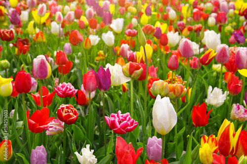 Photo  Colorful tulips background.