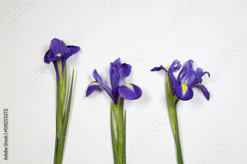 Spoed Foto op Canvas Iris the Violet Irises xiphium (Bulbous iris, Iris sibirica) on white background with space for text. Top view, flat lay