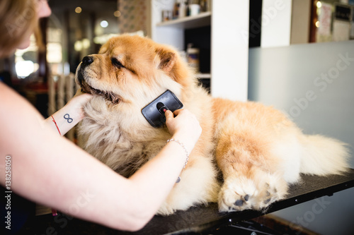Photo  Female groomer brushing chow chow at grooming salon.