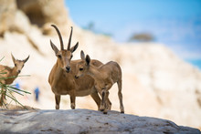 Ibex At Ein Gedi National Park, Dead Sea, Israel