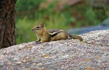 Eastern Chipmunk  Lying On A Rock. Closeup. Green Blurry Background.