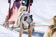 Dog race, dog team. kamchaka berengya
