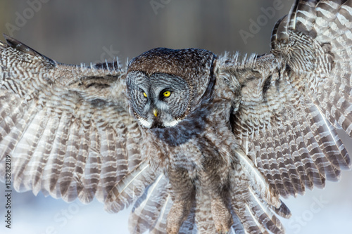 Poster Aigle The great grey owl in the golden light. The great gray is a very large bird, documented as the world's largest species of owl by length. Here it is seen searching for prey in Quebec's harsh winter.