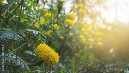 Cadres-photo bureau Jardin Yellow Calendula or Marigold flowers in the garden under morning light