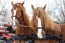 Clydesdale Horse Team In Snowstorm Ready To Go