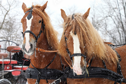 Valokuva Clydesdale horse team in snowstorm ready to go
