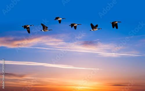 Poster Oiseau Spring or autumn migration of birds