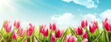 Spring Tulips In Sunlight