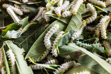 Close Up Silkworms Eating Mulberry Green Leaf.