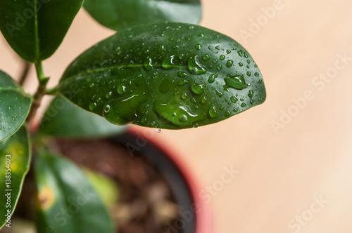 détail goutte de pluie sur feuille de ficus refusa en pot à bonsaï