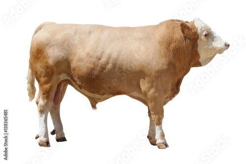 Photo of the breeding bull on a exhibition on a white background