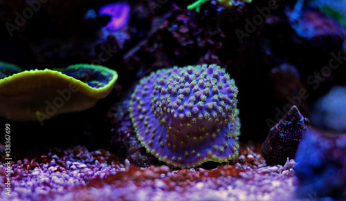 Staande foto Koraalriffen Yellow polyps Purple Turbinaria coral