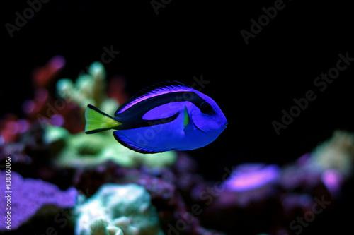 Real Dory in marine aquarium tank  (Blue Tang) Fototapet