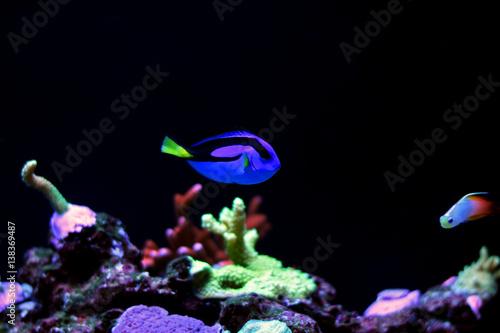 Fotografie, Tablou  Real Dory in marine aquarium tank  (Blue Tang)