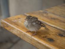 Sparrow On The Table, Israel, Desert