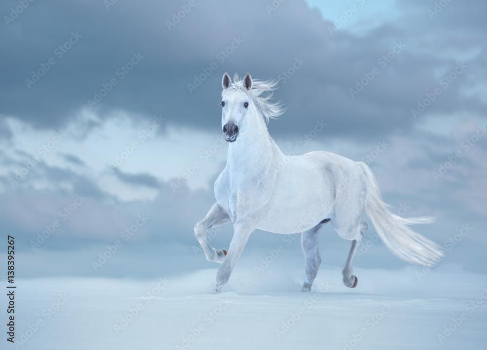 Fototapety, obrazy: Biały koń biegnie na śniegu na tle nieba
