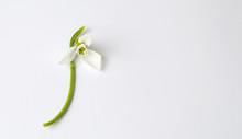 Single Snowdrop Flower On Whit...