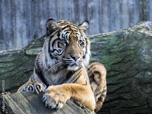 In de dag Tijger Portrait subadult female Sumatran tiger Panthera t. sumatrae